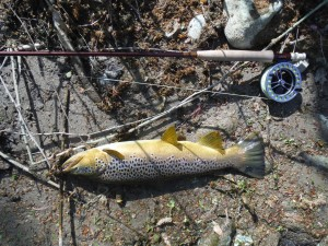 A large brown fished in Ter with a little nymph